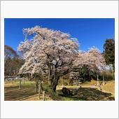 20190331 氏邦桜(鉢形城のエドヒガン)