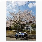 平成最後(笑)の桜見物