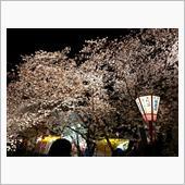 お花見🌸岩倉 五条川🌸