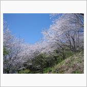 桜を見に行きました。