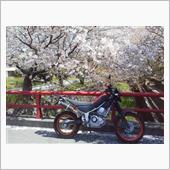 通りがかりの桜