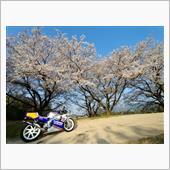 桜とロスマンズカラー