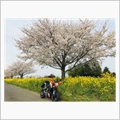 平成最後の桜と...