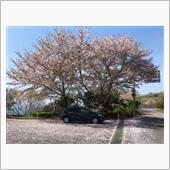 晴天、花見日和🌸<br /> 満開の桜とアクア😊