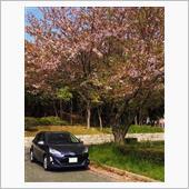 お気に入りスポットで🌸桜と🚘アクアのコラボ👍