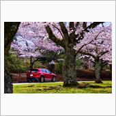 千葉の桜 千葉平和公園