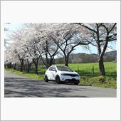 桜並木とムラーノ