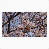 今更ながらの今年の桜🌸