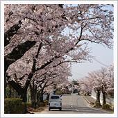 この時期は桜