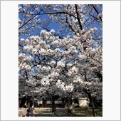 近くの護国神社 満開桜 4/4 その2