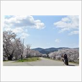 伊勢市宮川堤の桜たちを覗いてきた