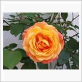 我が家の薔薇さんとテッセンさんとサボテンさん