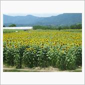 N-BOX君で向日葵を見に行きました。