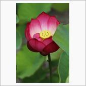 2020/7/5 白野江植物 3 蓮の花