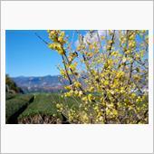 春の息吹が・・南足柄にある農園の蝋梅