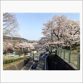 3月26日 緊急事態宣言解除後の初ドライブは花見とタヌキ