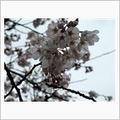 2021桜とコラボ雨編( ̄▽ ̄;)