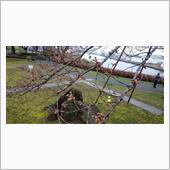 桜🌸咲き始め