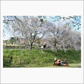 分かっちゃいるけど三多気の桜も覗いてきた