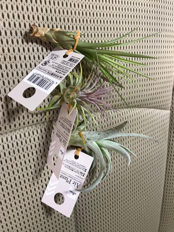 ダイソー Air Plants