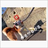 菊父ちゃんさんの柴犬