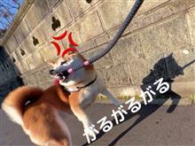 菊父ちゃんさんのshiba-ken