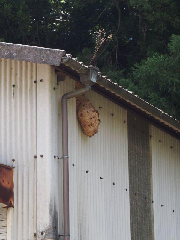 旧国道10号線某所のスズメバチの巣①