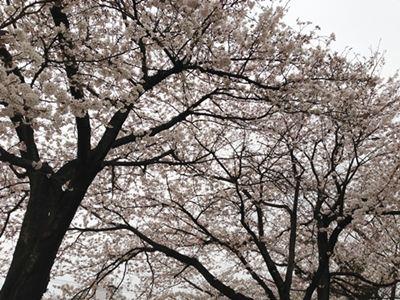 曇り空で桜が。