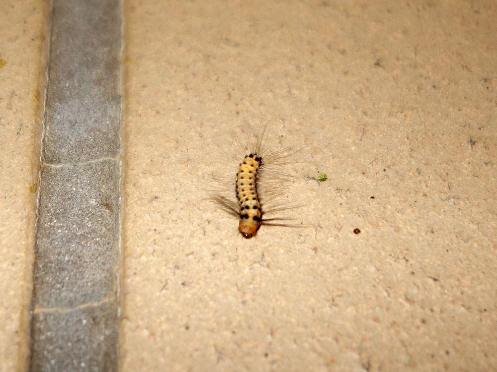 タケノホソクロバ幼虫
