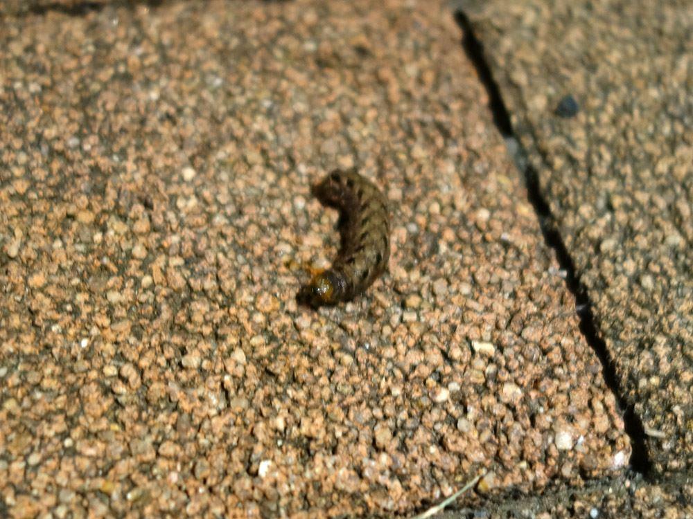 スズメガの幼虫?