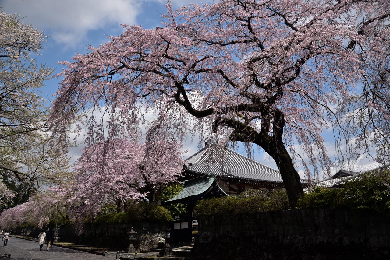 大石寺にて今年一番の花見!」アクティブアスパラのブログ   気ままに ...
