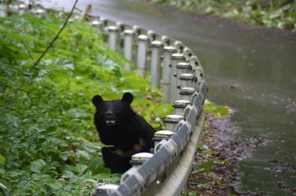 秋田県内で確認された道路脇に潜むクマ(秋田県庁提供)