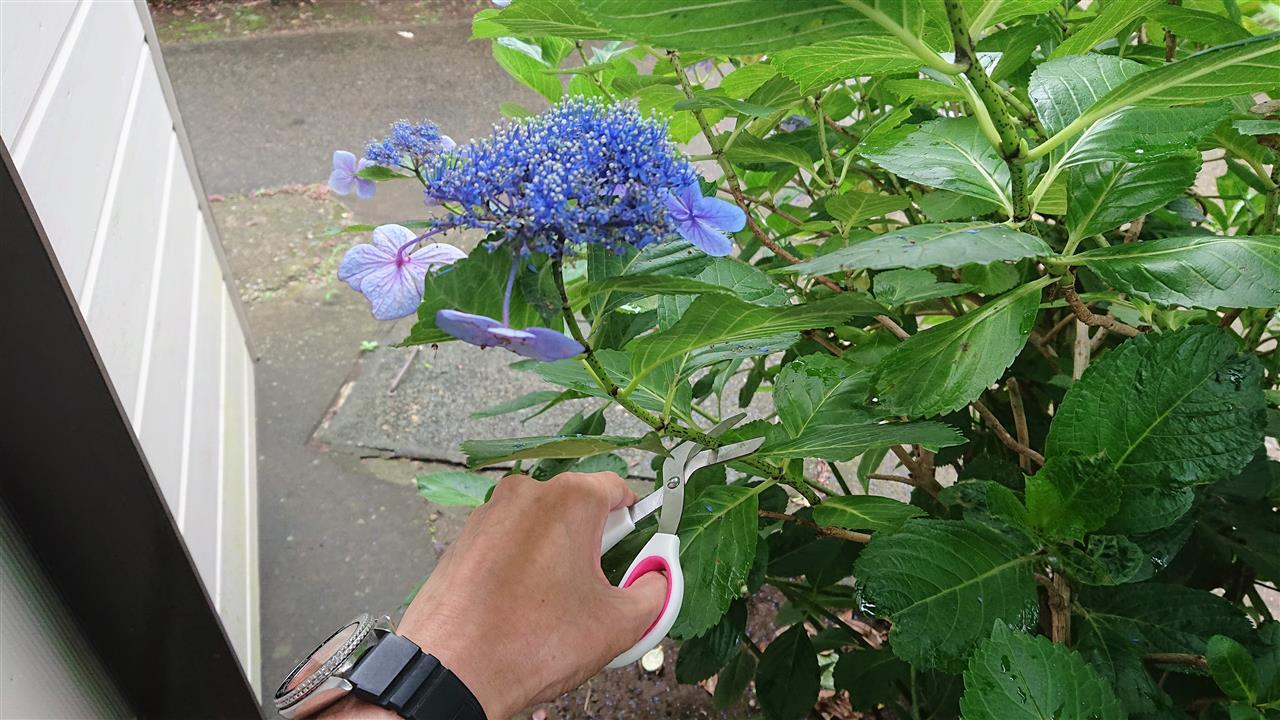 紫陽花 挿し木