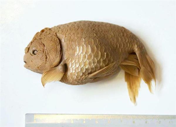 シーボルトが入手した金魚「ランチュウ」のアルコール漬け標本(研究チーム提供)