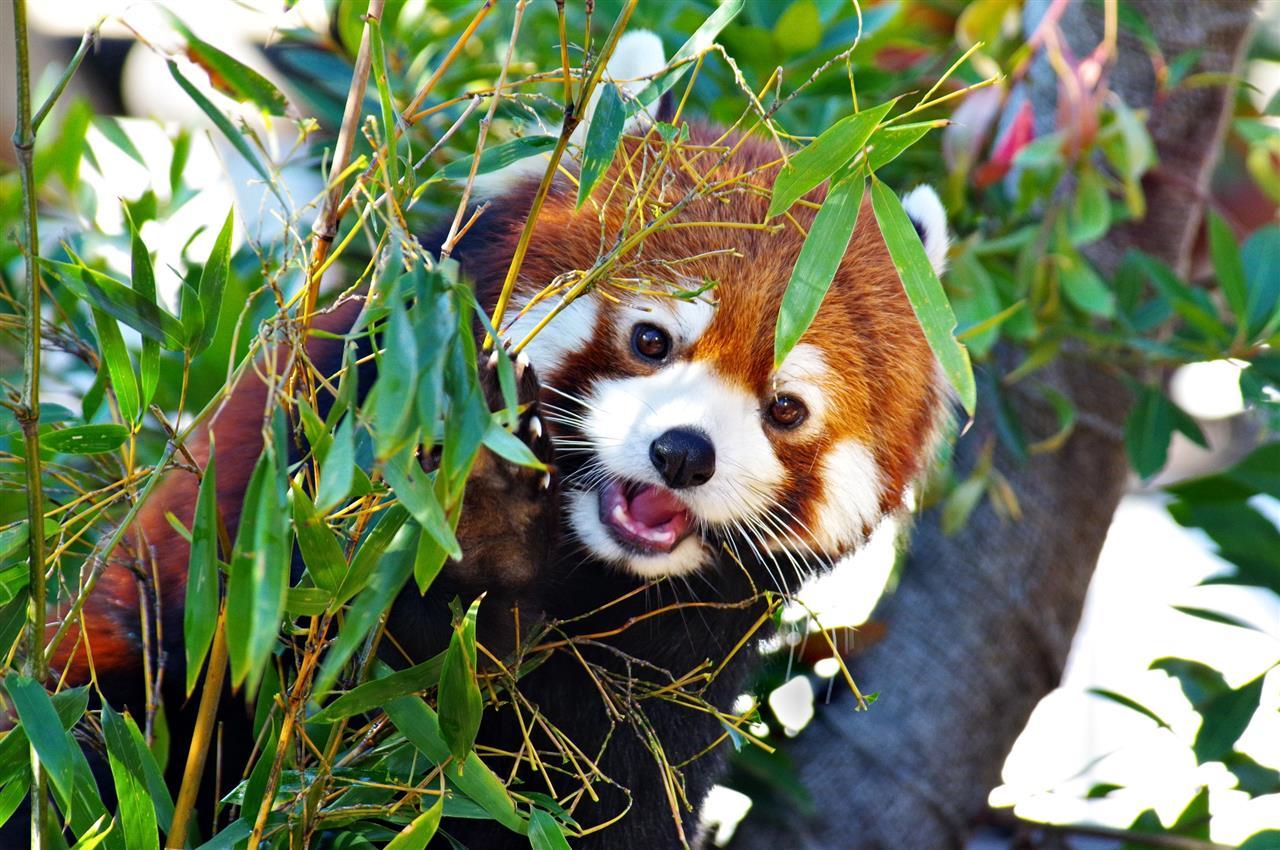 の ん ほ い パーク レッサーパンダ